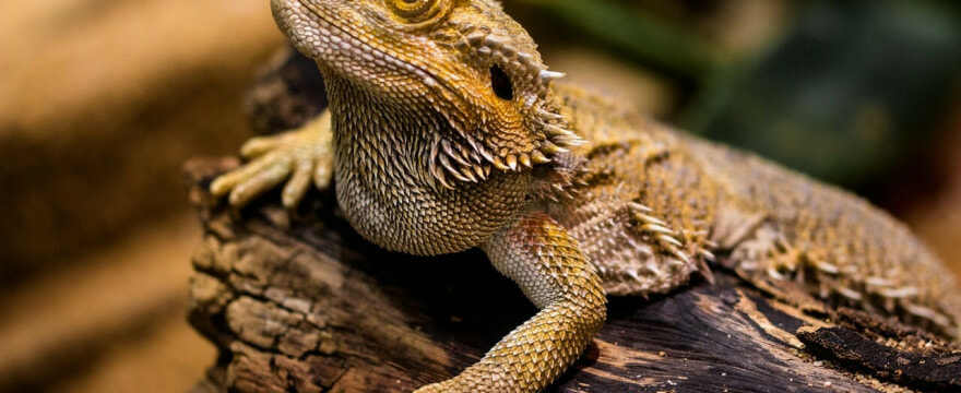 Desert Lizard for DRY Coding WordPress Actions and Filters